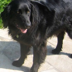 Reunited dog 15 Jun 2009 in Goatstown, Dublin. Black Male Labrador/Retriever. 5 Years old. Lost around Goatstown, Dublin. Any help greatly appreciated. Please contact David on 085 745 1960