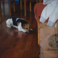 Lost dog on 25 Jun 2009 in Ratoath, Co. Meath. Jack Russell cross, rust, black and white coat, blue collar. Roughly 7 years old.