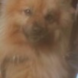 Reunited dog 26 Jun 2009 in galway. male large pom  call 0877752905 if no owner found dog will be rehomed