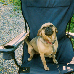 Lost dog on 26 Jun 2009 in Donelson, Tennessee USA. she is a puggle and is carring puppies. she went missing from my home in donelson tenn sat.6/26/09. we are in the 37214 zip code area. if found call 615-882-0562