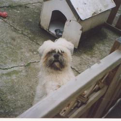 Reunited dog 03 Jul 2009 in Kells Co Meath . Stolen- 2nd/3rd July between 11.30pm and 8am Kells. Male chitsui white with black around mouth. Hair is shorter than in photo as he had just been to barbers. Chipped and Neutered. Answers to Jonah. Lovable dog with weak bladder. REWARD OFFERED.  email casltd@hotmail.com  RETURNED SAFELY