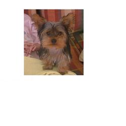 Lost dog on 04 Jul 2009 in galway . yorkie miniature, brownish, greyish, black, small beautiful dog, went missing on the 4th of July in Galway, my number is 0858199618 or ankasikora@onet.eu
