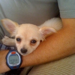 Lost dog on 06 Jul 2009 in Ballycullen Firhouse Dublin. Our little chihuahua puppy went missing from our back garden on July 6th 2009. Ballycullen firhouse area. Big reward for her safe return