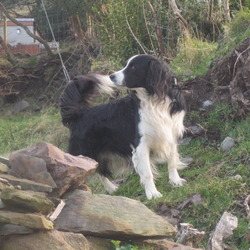 Lost dog on 07 Nov 0008 in castleisland co kerry. 4 year old collie/springer cross. Black and white with white front legs and chest. Went missing from castleisland co. kerry fenced garden (probably stolen) on 7th nov 2008.