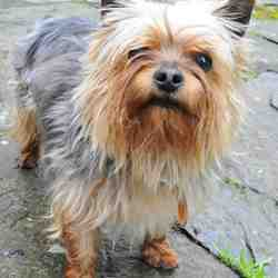 Found dog on 13 Jul 2009 in Glandore West Cork. Yorkshire Terrier. Glandore Church. 13th July. CALL JENNIFER ON 086 8500131. West Cork Animal Welfare Group. Friendly. May have been around for a couple of weeks...not sure.