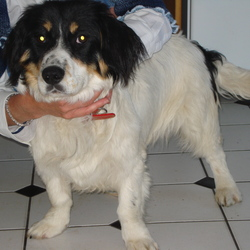 Found dog on 01 Jul 2009 in Arklow, Co. Wicklow. Small white female, 1-2yrs ?spaniel/collie x, short legged. very friendly, good with cats & kids; wearing a collar contact 0863032994