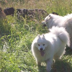 Reunited dog 14 Jul 2009 in Raheny. We got her back!! Thank you so much Patricia Hikcey from the Curragh. We are sooo happy to have her back!! MISSING Samoyed/White Huskie Sprayed Female from Raheny area 14/07/09. Family Pet, heartbroken family. Reward Offered please contact us if you have any info on 0872406478/0872929293