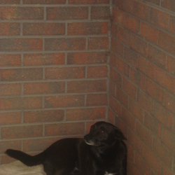 Lost dog on 15 Jul 2009 in Drumelis, Cavan. Black, medium sixed male dog. Cross breed. Black with a white tummy and 2 white socks. Sadly missed. Has been missing since 15th July from the Farnham area in Cavan. Answers to the name Roofie. Please call 0862581185.