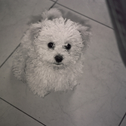 Lost dog on 19 Jul 2009 in Tipperary. Bichon Frise, 1 and a half yrs old. LOST at Tipperary Races car park on Sunday 19th July. Last seen at 5.30pm. Precious pet. big reward for her return. Please contact Michelle at 087 7474534 or 062 31144