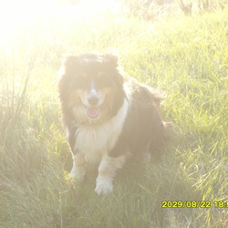 Lost dog on 28 May 0009 in blessington?kilbride co.wicklow. lost/stolen - minature collie, female, black, white and tan spots on her face. very friendly- missed greatly by her family please call:0879669474 or 0872516401