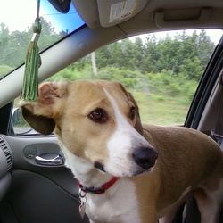 Lost dog on 27 Jul 2009 in greenville, NC, USA. beagle lab mix. 1 year old, 35 pounds. golden, white with very little black. she has a horseshoe like shape on her back. medium size dog. very friendly but might be skittish!! please call if you see her!!! 919-633-1046  $300 reward