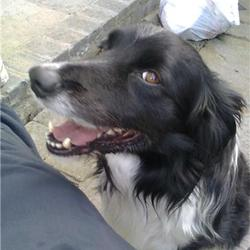 Lost dog on 26 Jul 2009 in Castleknock/phoenix park area. black and white border collie. named max. wearing blue collar. 10 years old. medium size