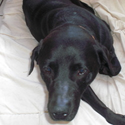 Found dog on 20 Jul 2009 in Ballinasloe. Mature Black lab.