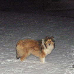 Reunited dog 29 Jul 2009 in Gorey Co Wexford . Female spayed rough collie much loved family pet if found or any information please call 087 9424122