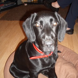 Lost dog on 25 Jul 2009 in Cork. 6 Month old Black Lab/Coker Spaniel mix, lost/stolen from boarding kennel in Grenagh area of Cork.  All black with no markings,  wearing a red collar.  Answers to Lola.  Much loved and missed childs pet,  substantial reward.