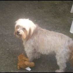 Lost dog on 04 Aug 2009 in Rathfarnham, Dublin. Missing on the 04/08/2009 - chitzu-cross-terrier - Buster/Busty - went missing on Nutgrove Avenue, Rathfarnham, Dublin 14.