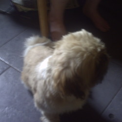 Lost dog on 04 Aug 2009 in cleragh kiltimagh co mayo. shih tzu hes called max he went missing 4/8/09 he has nick name we call him house he is liht brown&white
