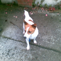 Found dog on 09 Aug 2009 in Dennehys Cross, Cork. Jack Russell found in Cork in Dennehy's Cross area. Male, brown/white. Unknown if microchipped, will check when vet opens. Call 0871341480.
