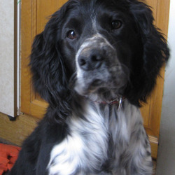 Lost dog on 06 Aug 2009 in Proudstown Rd area Navan. 18th month old male springer spaniel