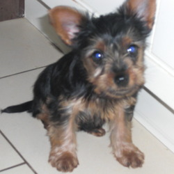 Lost dog on 08 Aug 2009 in Blackrock, Co Dublin. 14 week old miniture yorkshire terrier black and tan, stolen in the early hours of Saturday morning August 8th. Her name is Nala she is microchipped and was wearing a black coller.