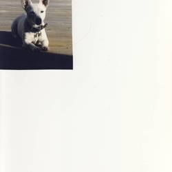 Lost dog on 08 Aug 2009 in Tallaght. Small White Jack Russell stolen from SuperValue shops in Springfield, Tallaght on Saturday the 8th of August.  Much loved family pet.  Is spayed and microchipped.  She is also deaf.