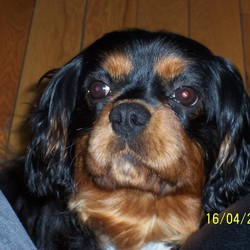 Lost dog on 11 Aug 2009 in Lucan.  2 year old Male Black and Tan King Charles.  Went missing 3rd August in Lucan.