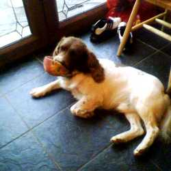 Lost dog on 30 Jul 2009 in cappincur,tullamore, co.offaly. springer spaniel 3years old brown and white,very friendly.if found please contact 0879516211