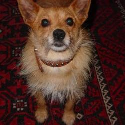 Lost dog on 14 Aug 2009 in Ranelagh - South Dublin. Nice friendly dog, Pomeranian/terrier mix, about five years old.  New to area: Ranelagh - South Dublin. Please call 086-156-0723 if found. Thank you.