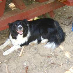 Lost dog on 15 Aug 2009 in Marysville, Ca. LOST DOG.  Border collie ,black & white, female. Lost on August 15th 2009, on Marysville , Ca . Two kids miss her terribly. Please call if found her. 916 -218 9122 or 916-218-9121
