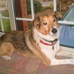 Lost dog on 14 Aug 2009 in Tulfarris Golf Club. Lost Family Dog, Light brown in colour, 15 years old, bad sight and hearing. ID tag (yes, red collar Please Call : 0868665090