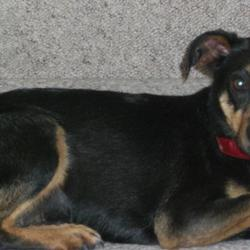 Reunited dog 17 Aug 2009 in Littlepace Clonee. Cody was in the Lost section, and now she is back home. I just want to say thanks to everyone who helped find her! Cody is a 4yr old x breed. Small female, black with tan shading on her face and paws, and a white stripe on her chest. She had a red collar when she went missing. She also has a very short tail. She is a very timid dog.