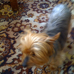 Found dog on 04 Aug 2009 in Cabra, Dublin. Yorkshire Terrier, Female, aged between 3-7, very friendly, misses her family a lot.