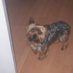 Lost dog on 19 Apr 2009 in clondalkin. renwed appeal small male yorkie missing since 19th April in clondalkin still very sadly missed was last seen in palmerstown woods if anyone has knows where he is could u please contact me on 0860688819