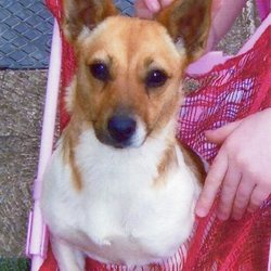 Lost dog on 25 Aug 2009 in Virginia, Co.Cavan. 2year old Jack Russell cross missing/stolen from my house on the 25th of August 2009. Small, tan and white neutered female with long tail and no collar. She is not micro chipped. Answers to the name Minnie. Much loved family pet. Lost in Virginia, Co. Cavan. Contact (049)8543825         (086)0729677