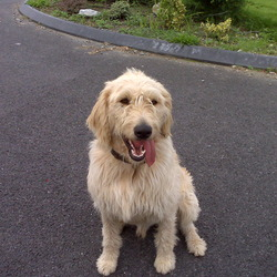 Reunited dog 28 Aug 2009 in Kinvara, County Galway. Our Labradoodle has been safely re-united with us. Thanks for all your help! Yellow / Golden Male ( Neutered ) Labradoodle, 1 year old. Large dog with brown collar and answers to the name