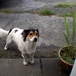 Reunited dog 31 Aug 2009 in Carrowbrown, Castlegar, Galway.. Was listed in lost section, has now returned. He went on a little trip!