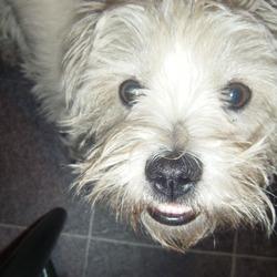 Reunited dog 01 Sep 2009 in Tallaght, Dublin. White West-Highland Terrior FOUND!!!!!
