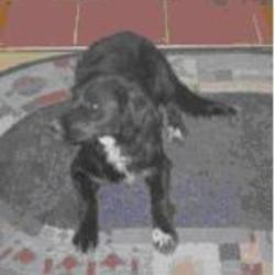 Lost dog on 22 Apr 2009 in South Tipperary. RENEWED APPEAL - Missing Spaniel X. Black female white under chin/chest some on paws.