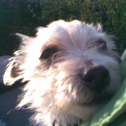 Lost dog on 01 Sep 2009 in Wexford Town, Co Wexford. REWARD OFFERED - Maltese Terrier, male, 1 year old.  Dearly loved family pet, went missing Tues 1st September from Wexford Town. Short hair, White colour with black roots down his back.  Very friendly lively dog. Any information please call! Reward offered - please call Lorraine on 0863794387 or 0868789191