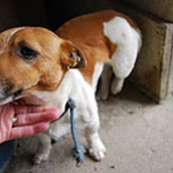 Found dog on 04 Sep 2009 in Kildare/West Wicklow. Small tan and white smooth male Jack Russell found near Dunlavin. Wearing a blue canvas collar. Very friendly. Probably quite young. Contact 045 401021 or 087 2697986