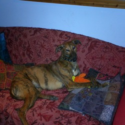 Lost dog on 05 Sep 2009 in MEATH, ENFIELD. LARGE REWARD OFFERED FOR LUCY! 6YR OLD BRINDLE FEMALE [NEUTERED]MICRO CHIPPED. SWEET AND GENTLE DOG.FAMILY ARE DEVASTATED. PLS PH 0861955878 WITH ANY INFO