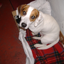 Found dog on 05 Sep 2009 in Lee Fields, Cork. Beagle like male dog, found in Lee Fields Cork on Saturday 5th of September at about 6pm , very friendly and lively, almost fully white, with brown patches on head, quite young, seems to be a pup still.