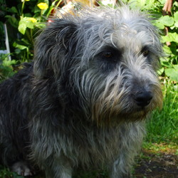 Lost dog on 05 Sep 2009 in Dublin13 Baldoyle area. Grey/Blue shaggy terrier, glen of immal bitch.Went missing with male red and white wirey haired jack russell. Contact Dermo 0857333452 018326235