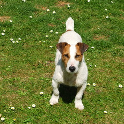 Lost dog on 05 Sep 2009 in Dublin13 Baldoyle area. Red and white jack russell, went missing with grey/blue glen of immal terrier. Contact Dermo 0857333452 018326235