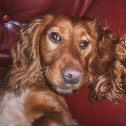 Lost dog on 01 Sep 2009 in Fermanagh, Northerern Ireland. 2 golden cocker spaniels lost. They were wearing red collars. 2 females, one called pepper (4 yrs) and the other called pinky (1). Contact 028 66 388 822  and 07743360945, any information would be helpful!   Pepper has a docked tail, but a bit longer than normal cockers   Pinky has a pink nose , pink paws and a very pink mouth, which is highly unusual and not common