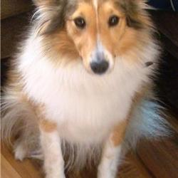 Lost dog on 08 Sep 2009 in balgaddy clondalkin area dublin. small miniture collie(sheltland sheepdog)tan and white sadly missed went missing the 8/09/09 balgaddy clondalkin area if found please contact very much appreciated