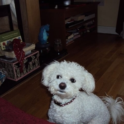 Reunited dog 12 Sep 2009 in Swords. Small white 1.5yr old female Bichon lost/stolen on 12th Sept in the Swords area, very very friendly little dog loves children and is very much missed.