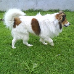 Reunited dog 13 Sep 2009 in slane co meath. Now reunited with his owner thank god! collie type dog found.male.brown and white.wearing a leather collar.v friendly.lokes playing ball.found in slane co meath.call 0863568667