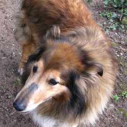 Reunited dog 13 Mar 2009 in Found outside Cahir, Co Tipperary. Lassie type female, at least 6 or 7 years old, sweet and well behaved, seems used to kindness, small lump on tummy