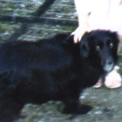 Lost dog on 06 Oct 2009 in Dean Cogan,Navan co Meath. Beauty is a small, stocky black Collie X with long hair and white